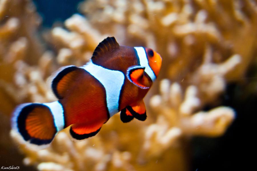 Clown fish ii by kuroshiro13 on deviantart for Buy clown fish