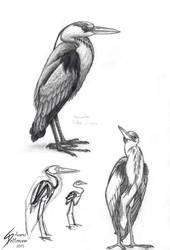 Common heron study