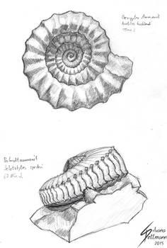 Ammonite studies