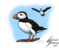 Papageitaucher (Atlantic Puffin) by Dragunalb