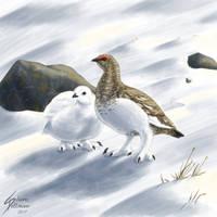 Alpenschneehuhn (Alpine Rock ptarmigan)