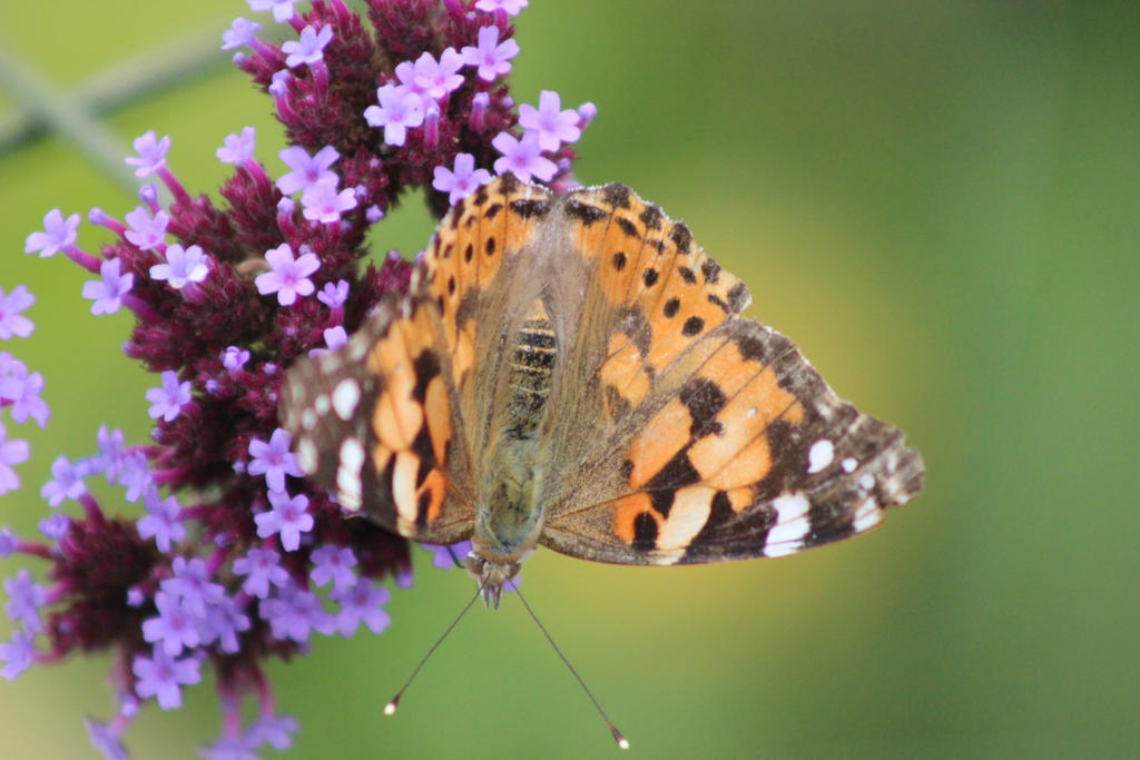 painted lady by karliosi
