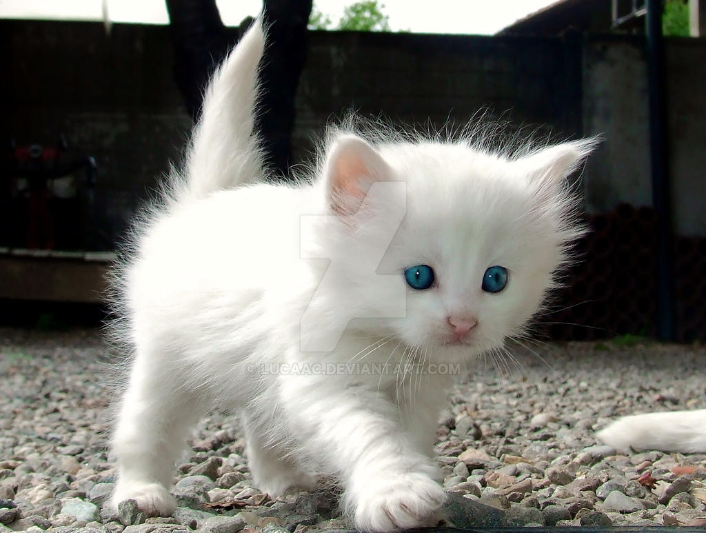 White Baby Kittens With Blue Eyes Cat Swiffer zoo...