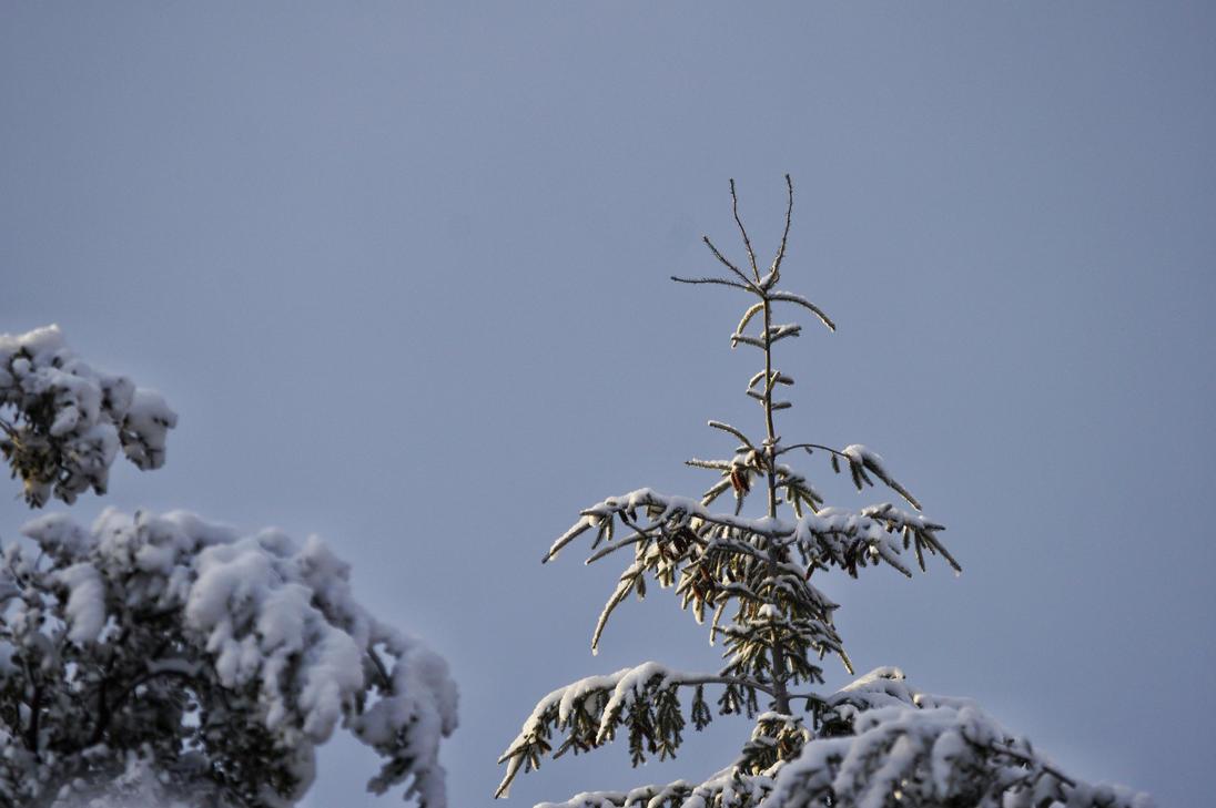 Lone pine by maxiaringoli