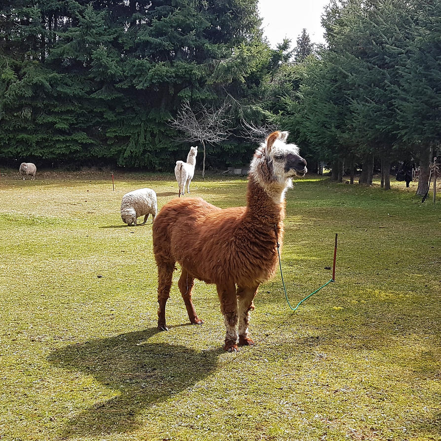 Llamas are awesome by maxiaringoli