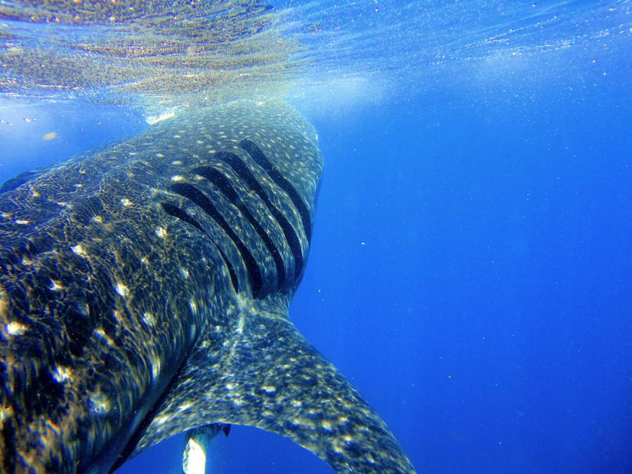 Whaleshark 11 by JulsBlack