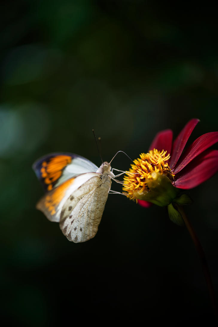 The Giant Orange Tip Butterfly II by Glenn0o7