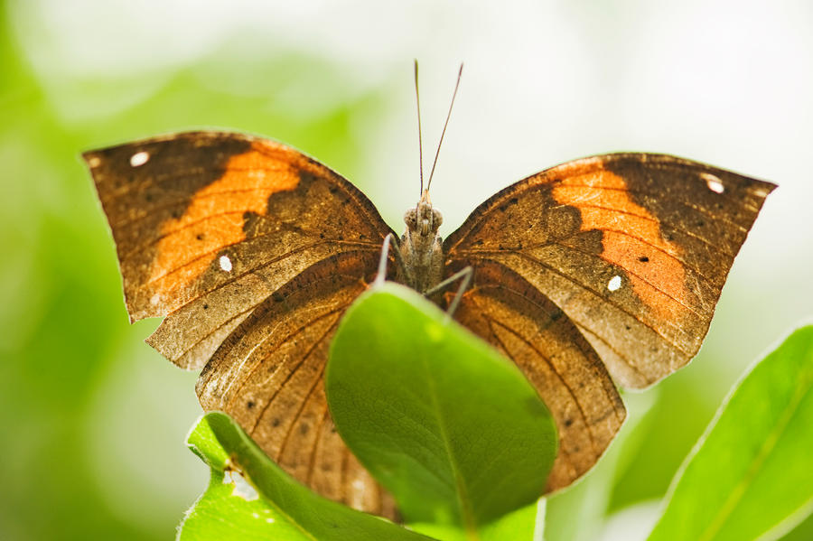 The Indian Leaf Butterfly By Glenn0o7 On DeviantART