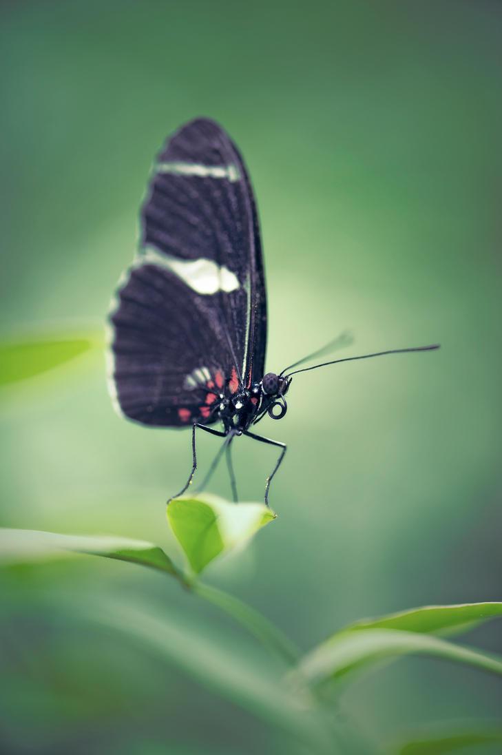 The Postman Butterfly by Glenn0o7