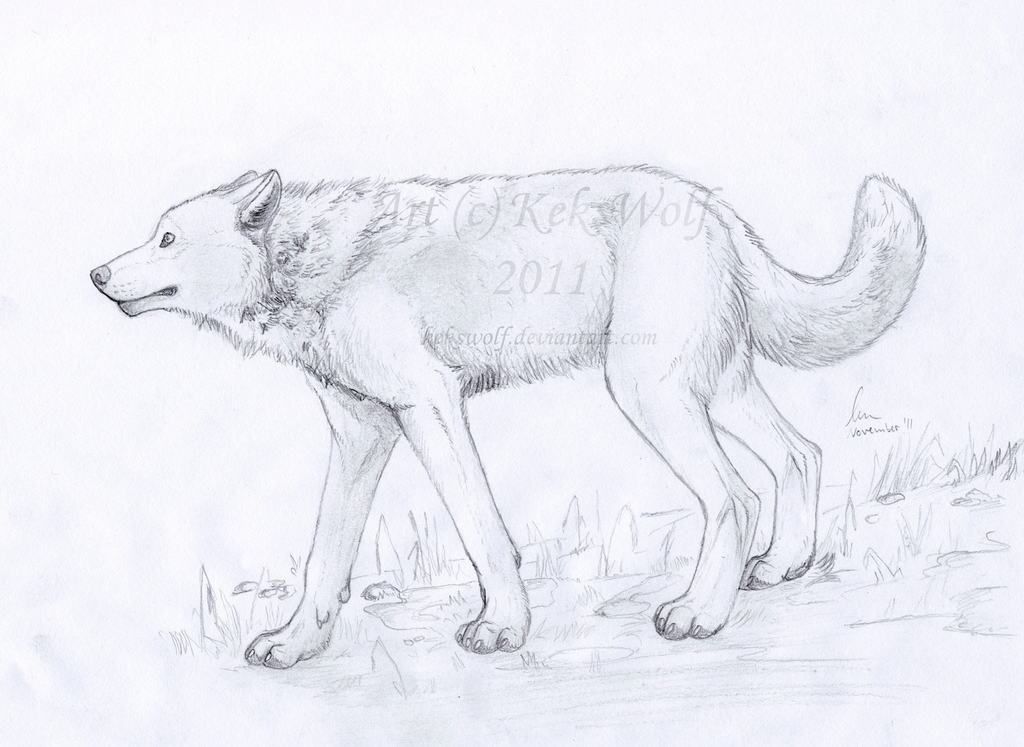 Young Wolf Drawing by KeksWolf on DeviantArt
