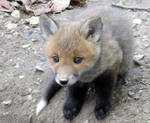 Young fox I