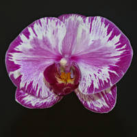 Orchid by FelixFFDS