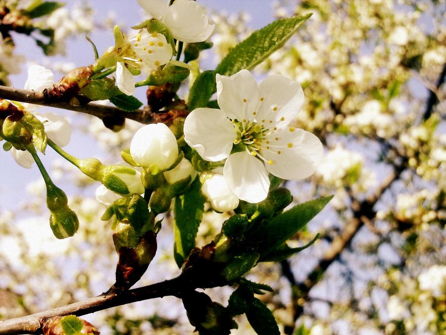 spring blossoms by littleAkvile