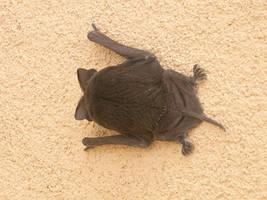 a bat at my window