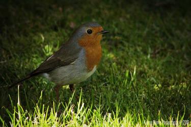 Robin 5 by ImageWonder