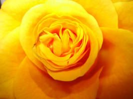 yellow roses 6