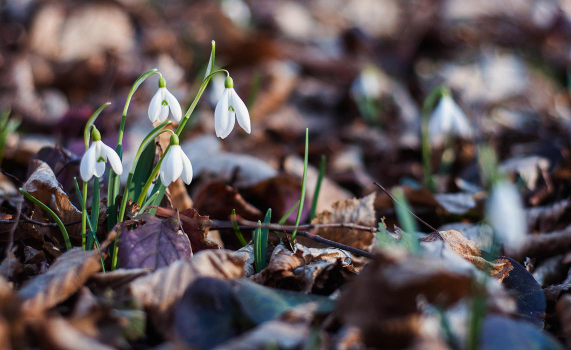 Snowdrops by third-one