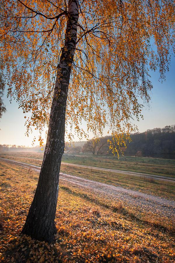 Autumn Birch by third-one
