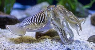 cute cuttle fish - 1170×669