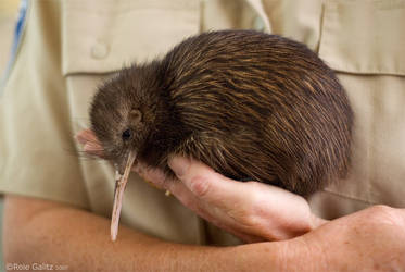 Kiwi Rescue by RoieG