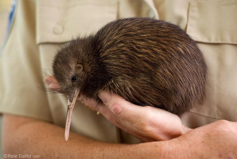 Kiwi Rescue by RoieG on DeviantArt