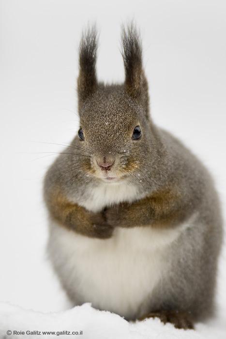Squirrel by RoieG