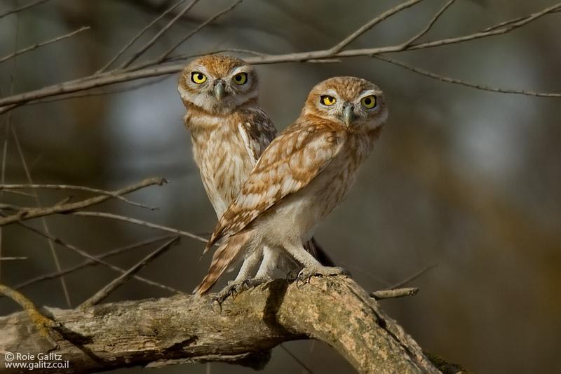 Little Owls by RoieG
