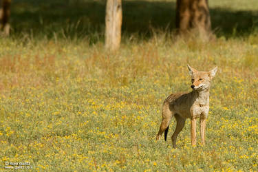Coyote by RoieG