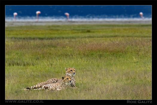 Cheeta Brothers