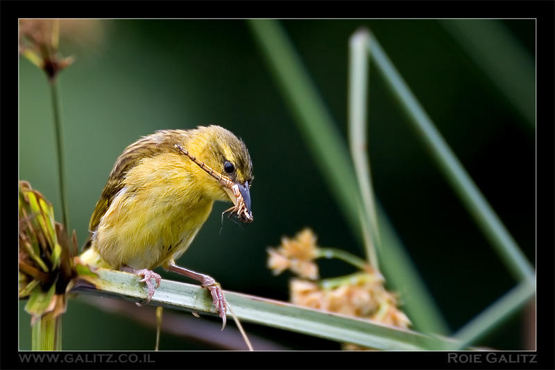 Weaver and Dragonfly by RoieG