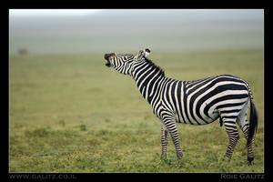 Zebra in heat by RoieG