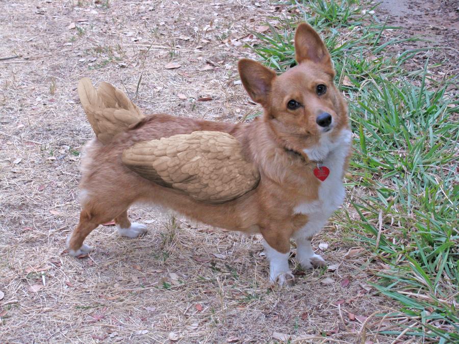 Corgi Wolf Mix | Dog Breeds Picture