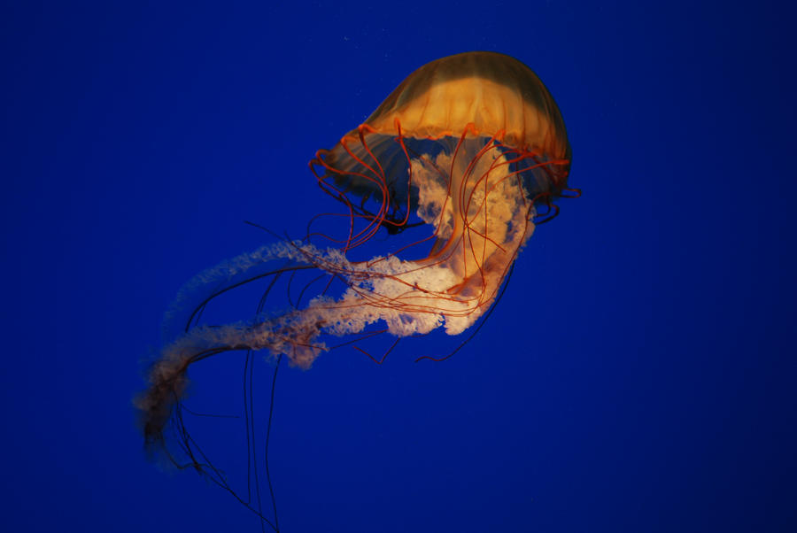 Pacific Sea Nettle by labyrinth56