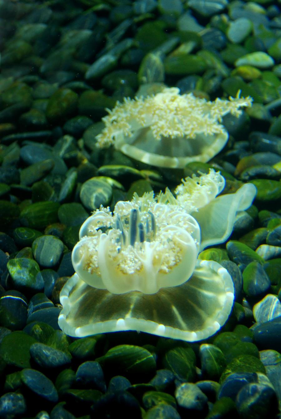 Upside Down Jellyfish by labyrinth56