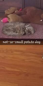 potato dog