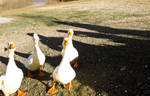 duckz of new zealand