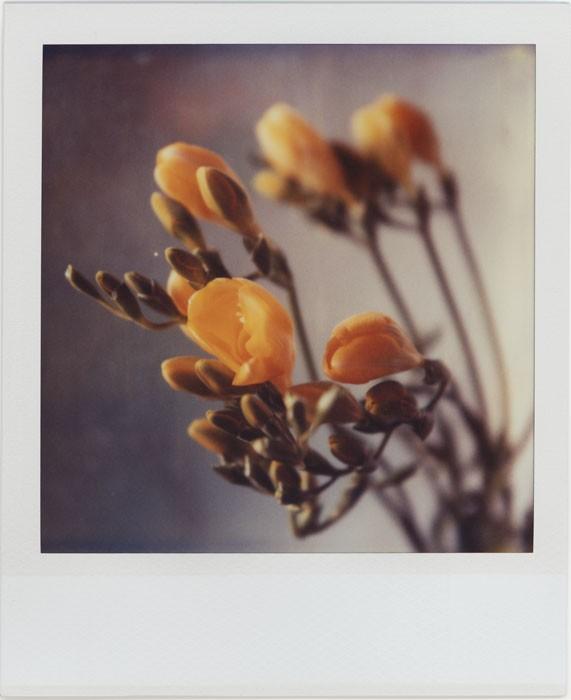 Yellow Freesia by futurowoman