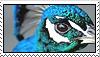 peacock by Tbearmn22