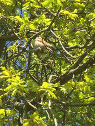 Little birdy in the oak tree