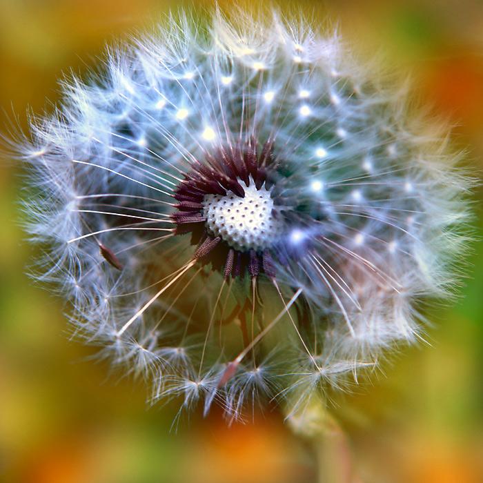 dandelion colors