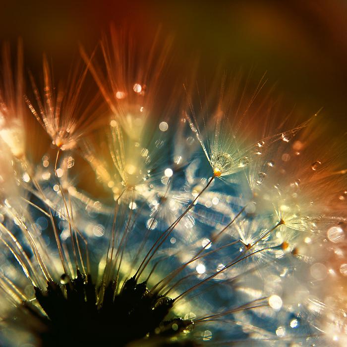 dandelion fluff..