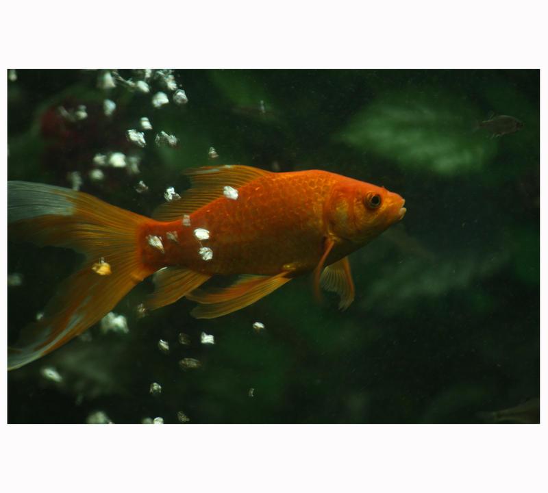 peshku i kuq by BekimQYQALLA