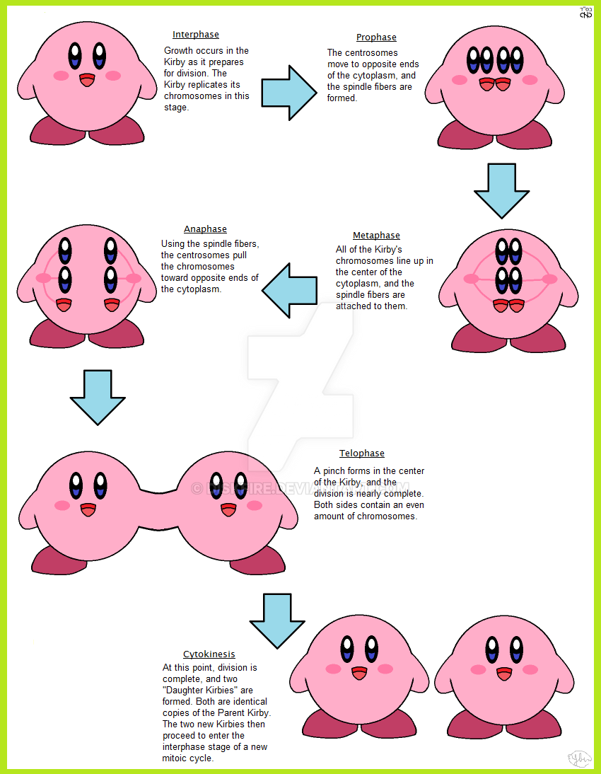cell cycle and mitosis worksheet