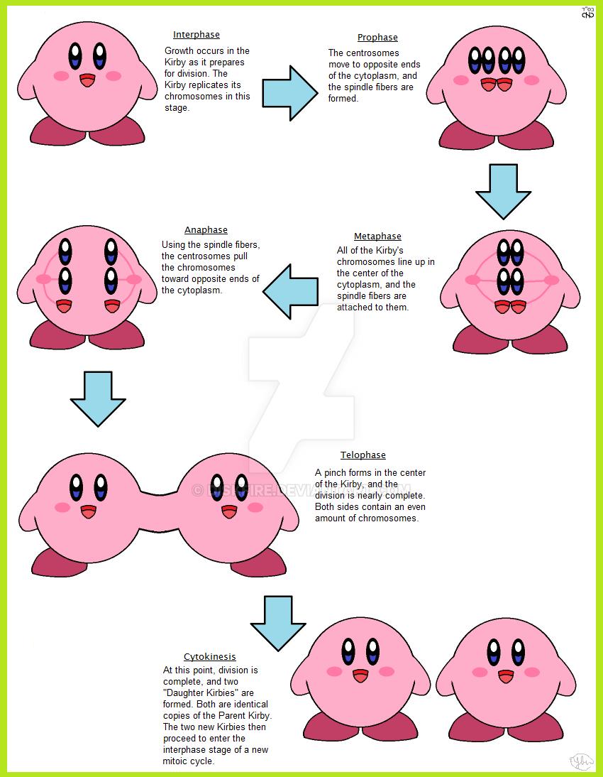 Mitosis vs meiosis worksheet answer key