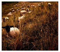 Sheep by zillahderigeaud