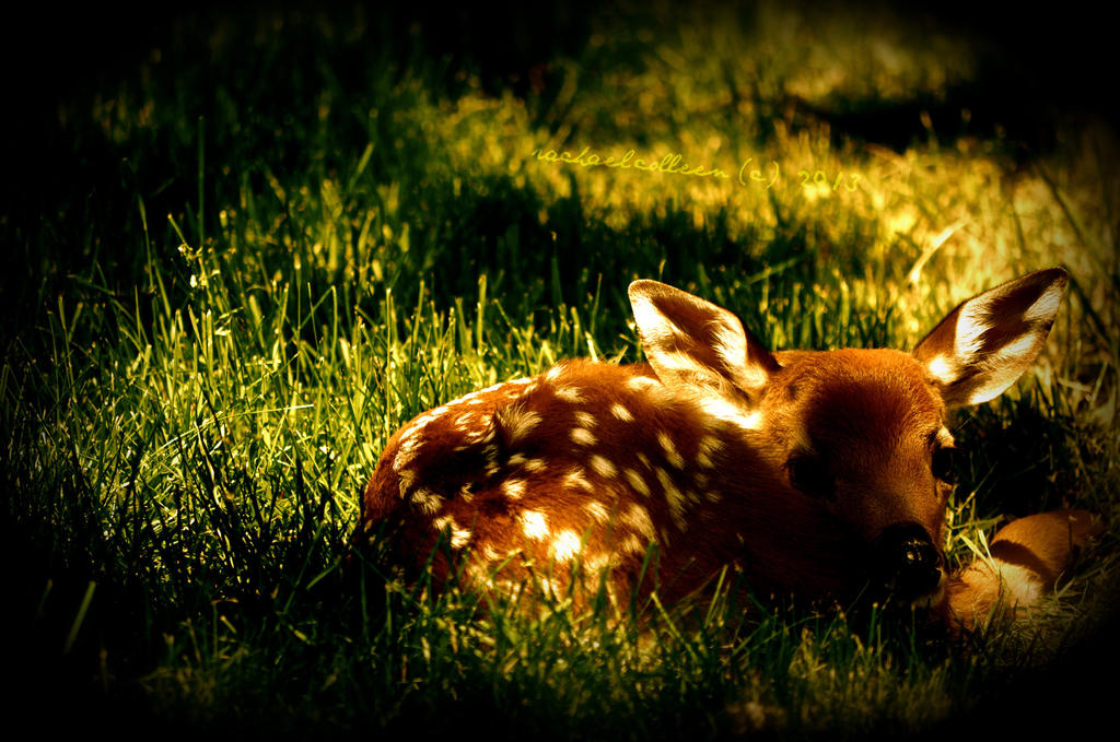Fawn's Early Light by rachaelcolleen