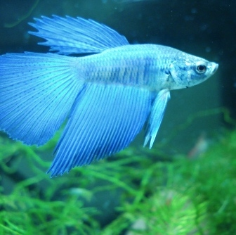 Does and don 39 ts of betta care by darkmoon17 on deviantart for Betta fish names male blue
