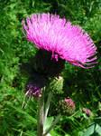 Just a summer flower
