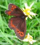 Smoke butterfly
