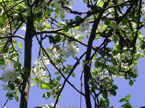 Apple blossom sky